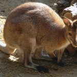 BIOPARCO_DSC_1314-album-WALLABY-phtsh